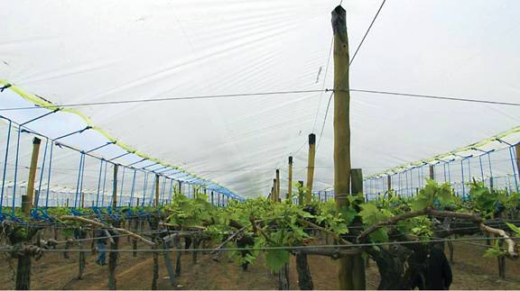 Plastic vine cover and support structure over Thompson Seedless grapevines in Rancagua, Chile. (Photo credit: Matthew Fidelibus)