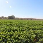 Arizona melon field