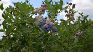 Florida Blueberry Growers Exploring Evergreen Varieties