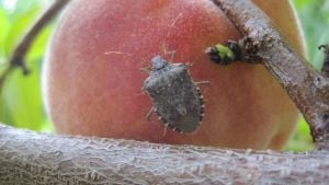 Get Ready For Brown Marmorated Stink Bug In 2015