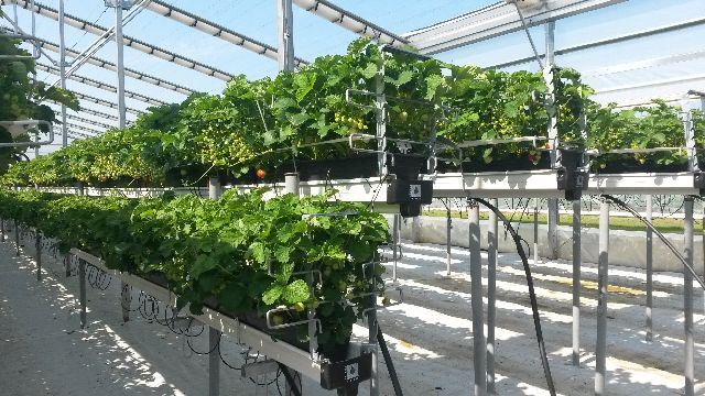 Growing Greenhouse Strawberries Can Pay Growing Produce