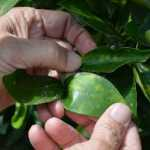 inspecting a citrus leaf for HLB symptoms