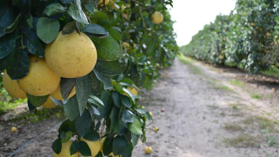 foliar nutrition evidence on grapefruit