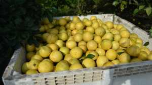 Benefits Of Citrus Box Tax In Jeopardy