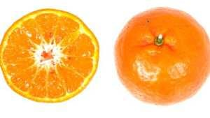 Experimental Florida Mandarins Measure Up