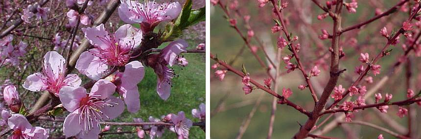 Figure 3. Showy (left) peach varieties generally bloom sooner than non-showy (right) types. (Photo credits: Bill Shane)