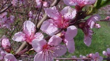 Figure 3. Showy (top) peach varieties generally bloom sooner than non-showy (bottom) types. (Photo credits: Bill Shane)