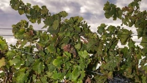 Drought's Impact On California Winegrapes