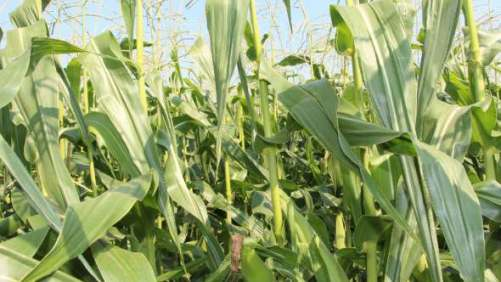 Abbott & Cobb Forms Licensing Agreement With Syngenta