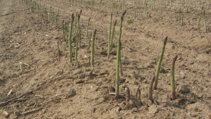 Optimize Your Asparagus Harvest