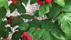Building A Better Black Raspberry