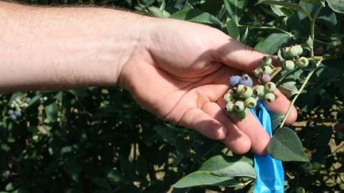 Georgia Blueberry Growers Suffer Chill Damage