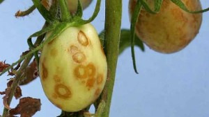 New Virus Detected In South Florida Tomatoes