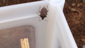 More Help Needed To Track Brown Marmorated Stink Bugs, Georgia Researchers Say