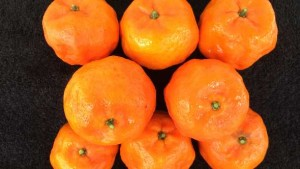 Florida Citrus Growers Vie For Chance To Plant Experimental Selections