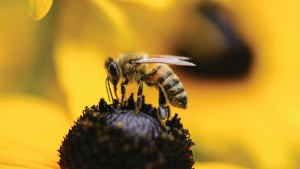 Study Shows Wild Bees On Decline