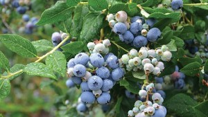 Researcher Studying Benefits Of Growing Berries In Containers