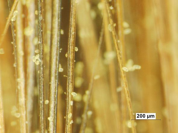 Figure 1: Pollen grains suspended on the hairs of a painters brush. Apple producers rely on pollinating insects to transfer pollen to the stigmatic surface of blossoms. (Photo courtesy of Tom Kon, Penn State University)