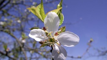 sweet cherry bloom