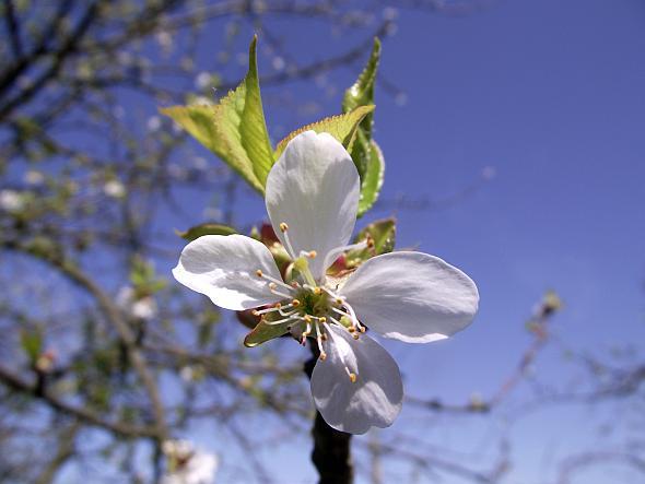 East Oregon Cherry Crop Bit Again By Fall Frost