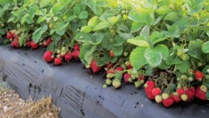 Tips To Step Up Your Strawberry Nutrient Management Plan