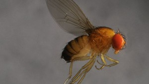 Awareness Key In Grounding Spotted Wing Drosophila's Aerial Assaults