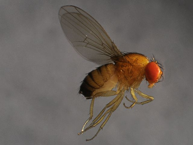 Scientist Has Sights On Shooting Down Spotted Wing Drosophila