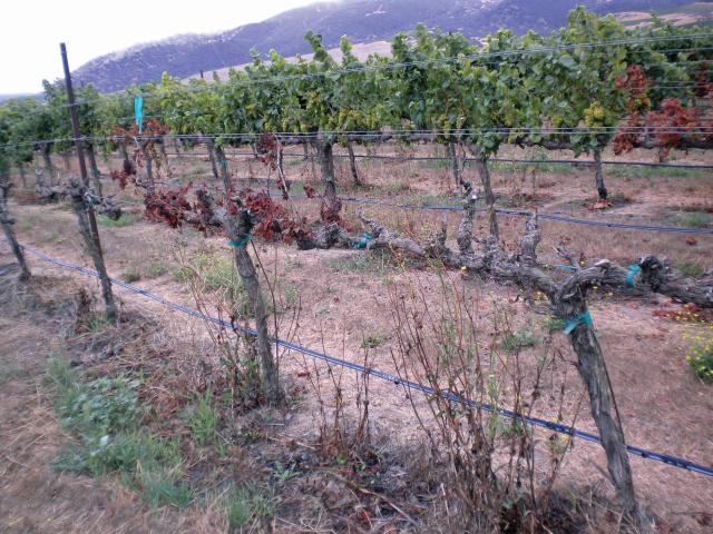 This Chardonnay vine shows the apoplectic stage of Esca. Note the sudden death of vines surrounded by healthy looking vines. (Photo credit: Judit Monis)