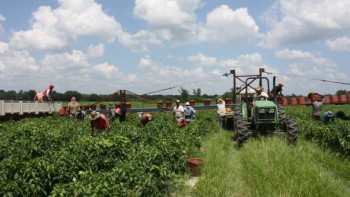 farmworkers picking crops in field