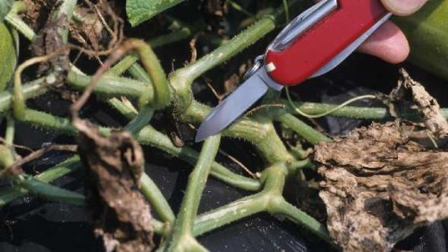 Win The War Against Bacterial Wilt Of Cucurbits