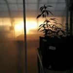 Charlotte's Web-medical marijuana in greenhouse
