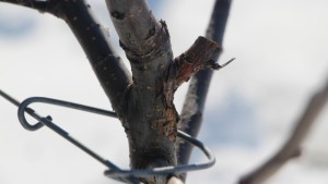 Don't Neglect Overwintering Fire Blight Cankers