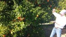 Sugar Belle brand LB 8-9 orange tree