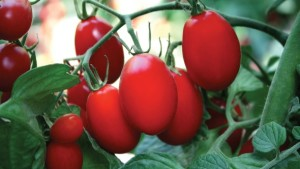 GSPP Accreditation Enables Sakata Seed America To Offer GSPP-Certified Tomato Varieties