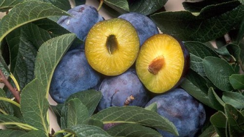 Yeasts Found On Plum Surfaces May Protect Against Pathogens