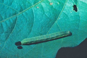 Beet-Armyworm-Photo-by-Alton-Sparks