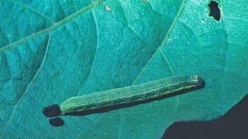 Beet-Armyworm-Photo-by-Alton-Sparks