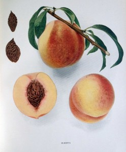 The Elberta variety is pictured in a color plate from U. P. Hedrick's Peaches of New York.