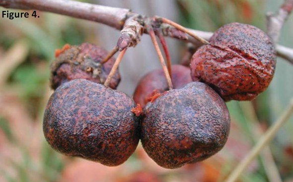Fungal fruiting bodies (Fig. 4) are seen on Manchurian crab apple fruit. (Photo used with permission from C.L. Xiao, USDA-ARS, Parlier, CA)