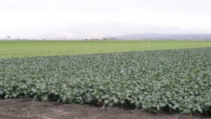 Use Broccoli Rotations To Reduce Disease And Minimize Leaching