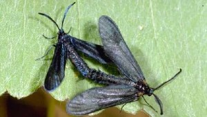 New Winegrape Pest Found In California