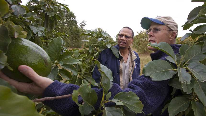 UF/IFAS scientists Edward Evans and Jonathan Crane study diseased avocados in a South Florida grove.