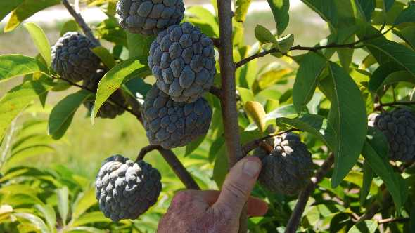 Sugar Apple Emerges As Tempting Treat For Florida Growers ...
