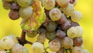 Botrytis in 'Riesling'  Photo: Wikimedia commons photo