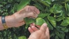 inspecting citrus greening leaves