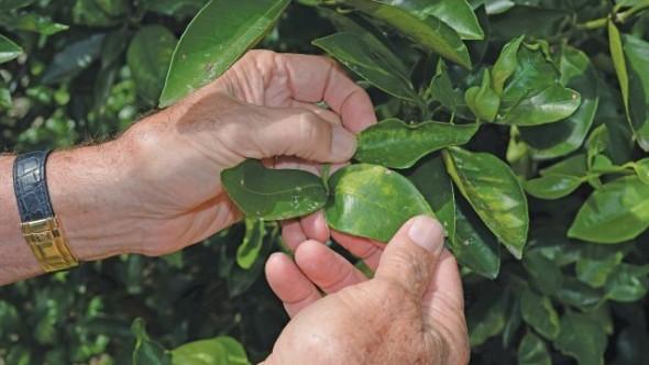 inspecting citrus greening leaves