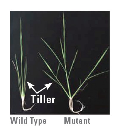 Figure 1. Targeted mutation of the rice LAZY1 gene using CRISPR/Cas9. Note the difference in tiller angle between the wild type (normal) and the mutant created by CRISPR/Cas9. Adapted from Miao et al. (2013)