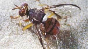 Florida Declares Agricultural Emergency Over Invasive Pest