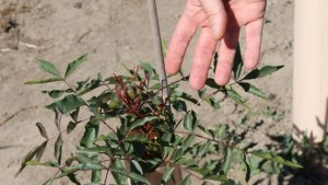 Growers Claim Pistachio Trees Diseased – Nursery Maintains Problem Is A Genetic Disorder