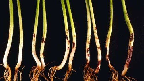 Rhizoctonia Pathogen A Major Bane To Beans